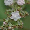 草紫陽花(クサアジサイ)