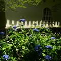 夏の日射しの紫陽花