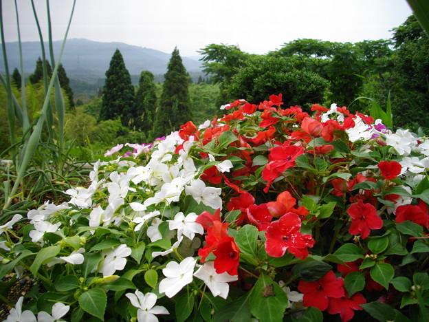 宮島緑の村~赤白の花