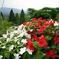 Photos: 宮島緑の村~赤白の花