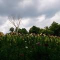 写真: ところざわのゆり園 木2