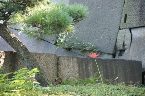 Photos: 松と彼岸花