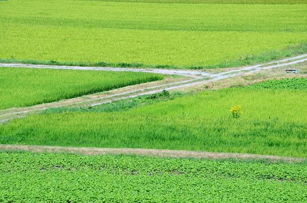 真夏の水田と畦道