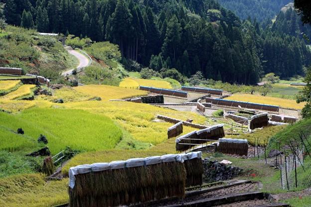 稲の自然乾燥はざ掛