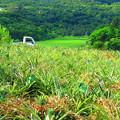 パイン畑と軽トラ