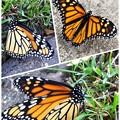 写真: 素敵な蝶々ミッケ~♪