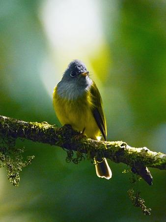 ハイムネヒタキ(Grey-headed Canary Flycatcher) P1050431_R2