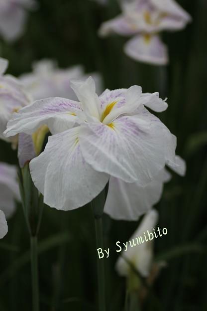 長井あやめ公園にて (9)