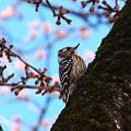 コゲラちゃんの春