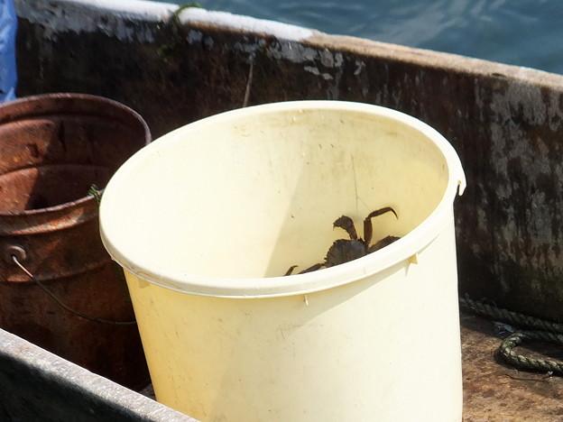 藻屑蟹漁3 暴れているカニ