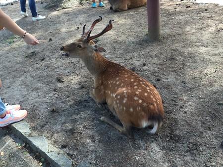 20150719奈良公園の鹿(1)