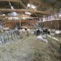 写真: 羊飼い-札幌
