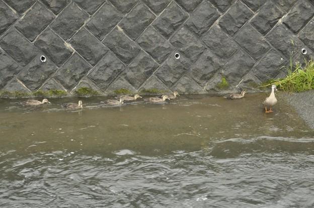 7月4日、岸壁に向かうカルガモ親子