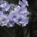 7月7日、八重咲きの萼紫陽花
