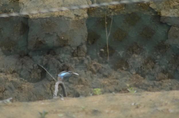 8月8日早朝、巣にエサを運ぶカワセミの親鳥?