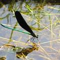 糸蜻蛉 清流の上で一休み