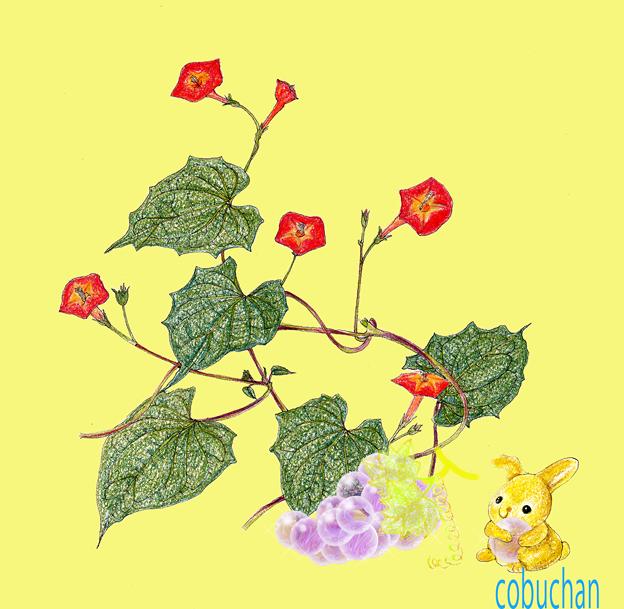 9月の壁紙~マルバルコウソウとブドウ