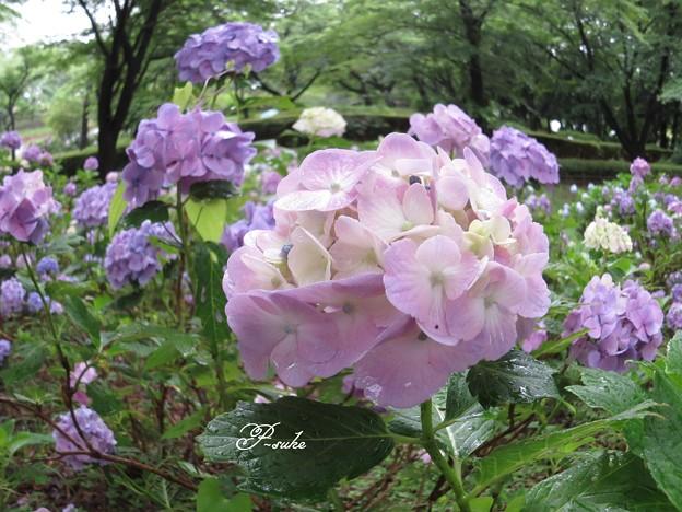 紫陽花魚眼風