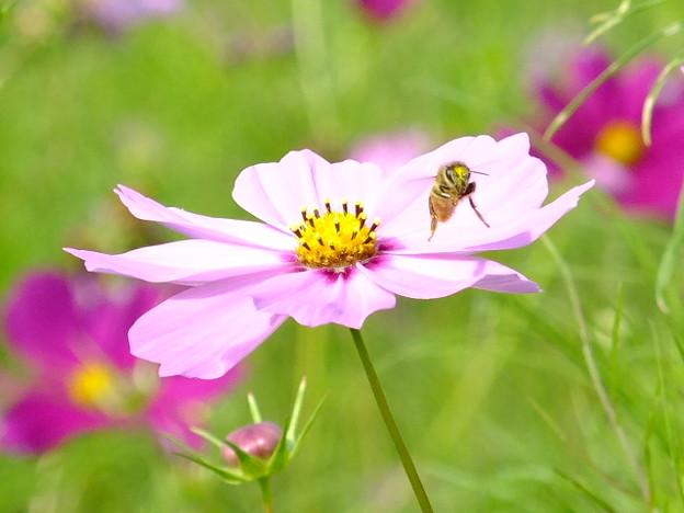 こすもすとミツバチ