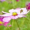 写真: こすもすとミツバチ