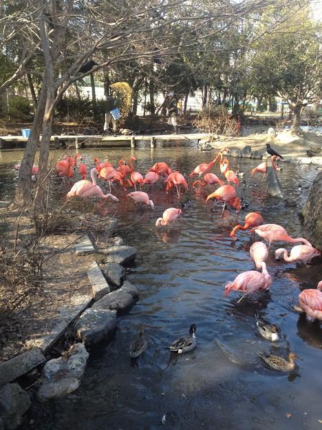 東山動植物園_50:ベニイロフラミンゴとチリーフラミンゴ