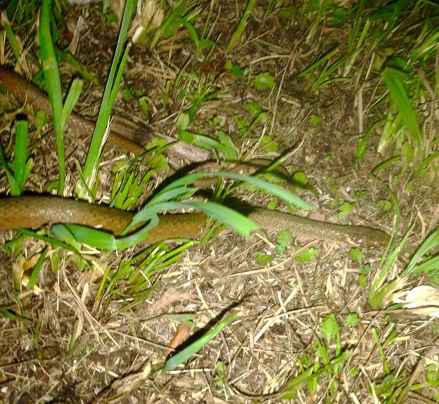 落合公園で見かけたヘビ - 7