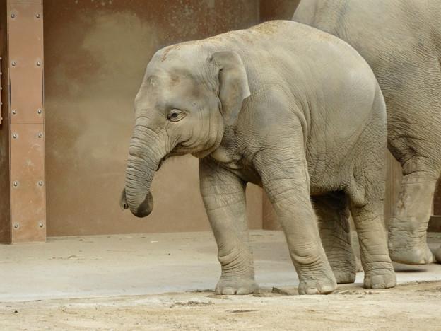 Photos: 東山動植物園(2015年9月)No - 17:アジアゾウの親子