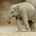 東山動植物園(2015年9月)No - 17:アジアゾウの親子