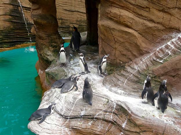 東山動植物園(2015年9月)No - 55:並んで立つフンボルトペンギン