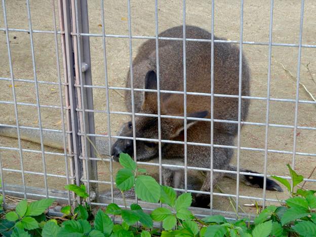 東山動植物園(2015年9月)No - 99:檻の外の草を食べる、ベネットアカクビワラビー