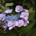 写真: 紫陽花と雫