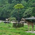 Photos: 秋吉台から引っ越してきて1年、キリンのカナちゃんの雨宿りもすっかり安佐スタイルにwww