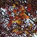 紅葉葉楓 最後の紅葉 #3_109