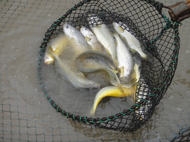 養殖黄魚 (3)