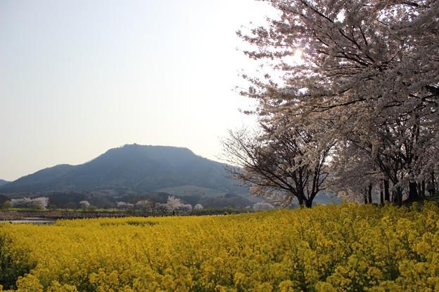 上堰潟公園の桜と菜の花