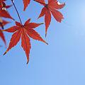 Photos: 紅葉2011