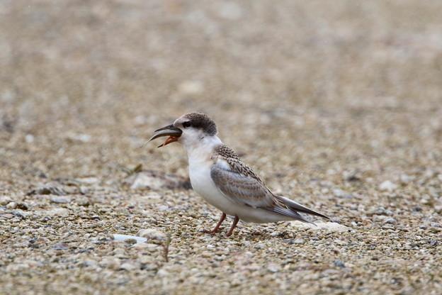 コアジサシ幼鳥(4)FK3A9225