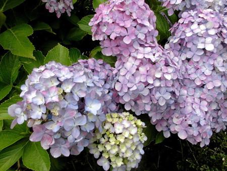 紫陽花_2015-05
