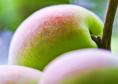 梅の実の熟する頃