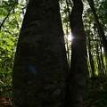 ブナの木~木漏れ日