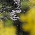 季節外れの山桜