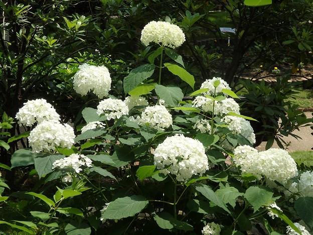 アナベル~西明石 花と緑の学習館