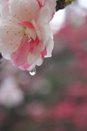 月川温泉、花桃の里11
