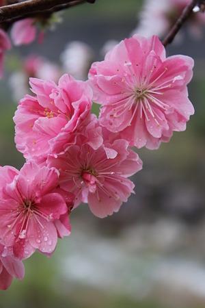 月川温泉、花桃の里14