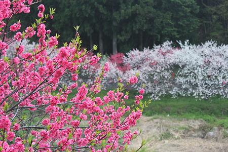 月川温泉、花桃の里15