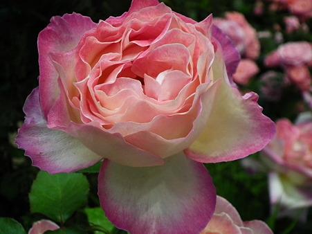7ガーデニングショー薔薇