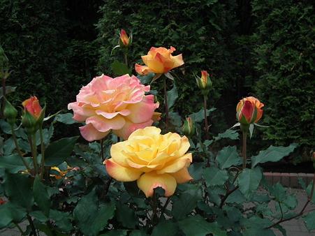 5智光山薔薇