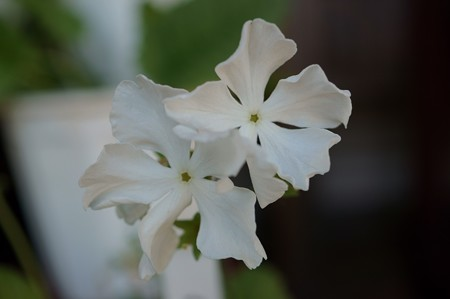 日本桜草 白妙