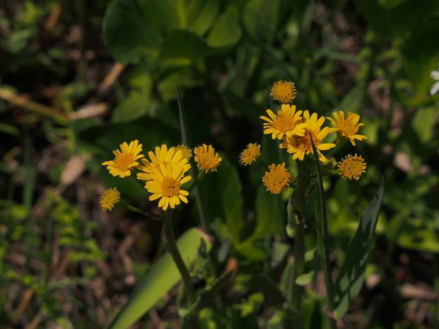 サワオグルマ Tephroseris pierotii