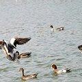 写真: 羽状攻撃